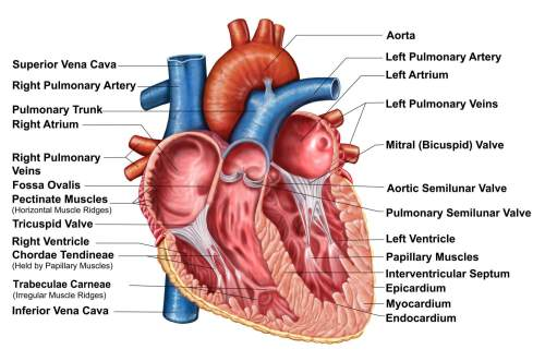 small resolution of the interior anatomy of the heart diagram with labels