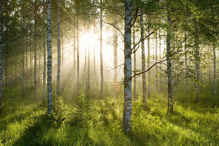 north american birch tree