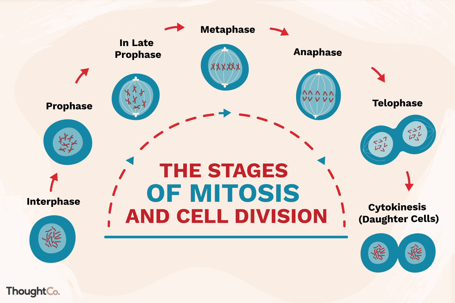 Label Phase Of Meiosis Worksheet Answers