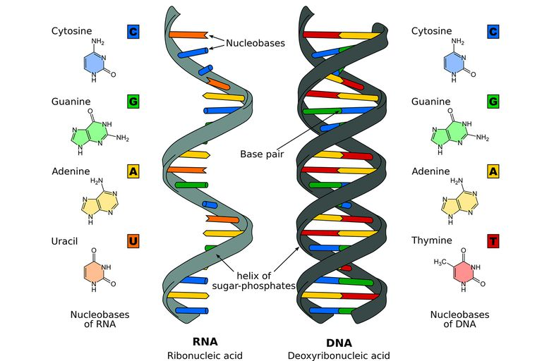 the differences between dna