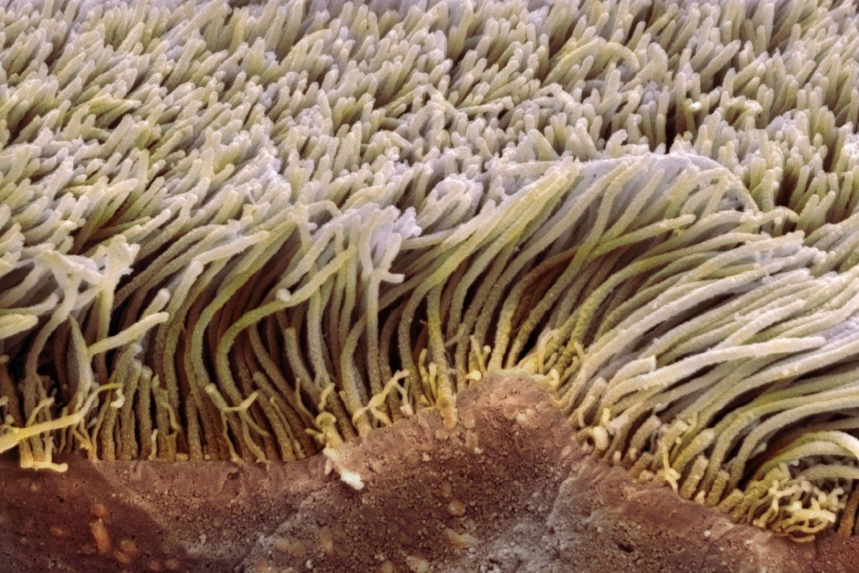 Cilia And Flagella Function