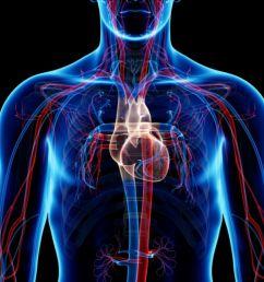 circulation diagram of organ and body [ 1500 x 997 Pixel ]