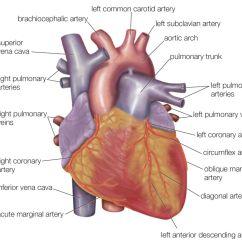 Anatomical Heart Diagram Power Door Lock Wiring Anatomy Of The View Exterior
