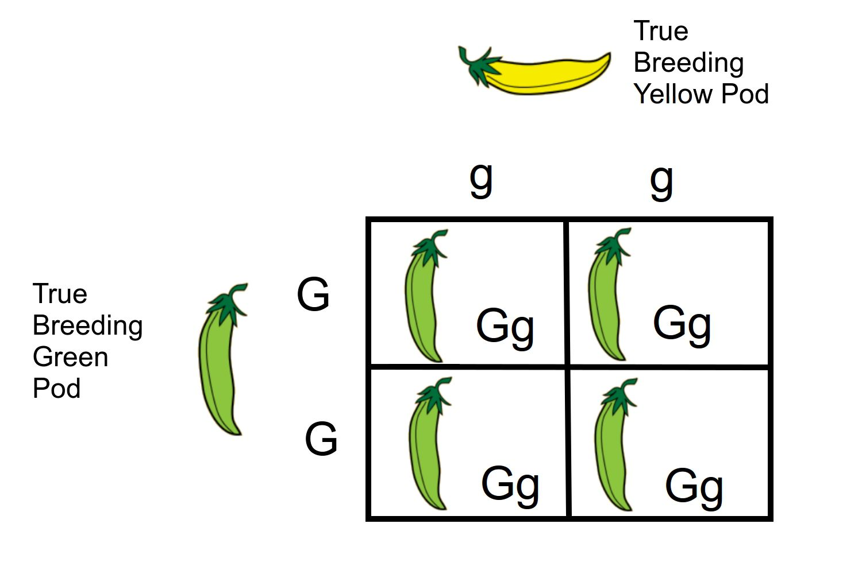 Monohybrid Cross A Genetics Definition