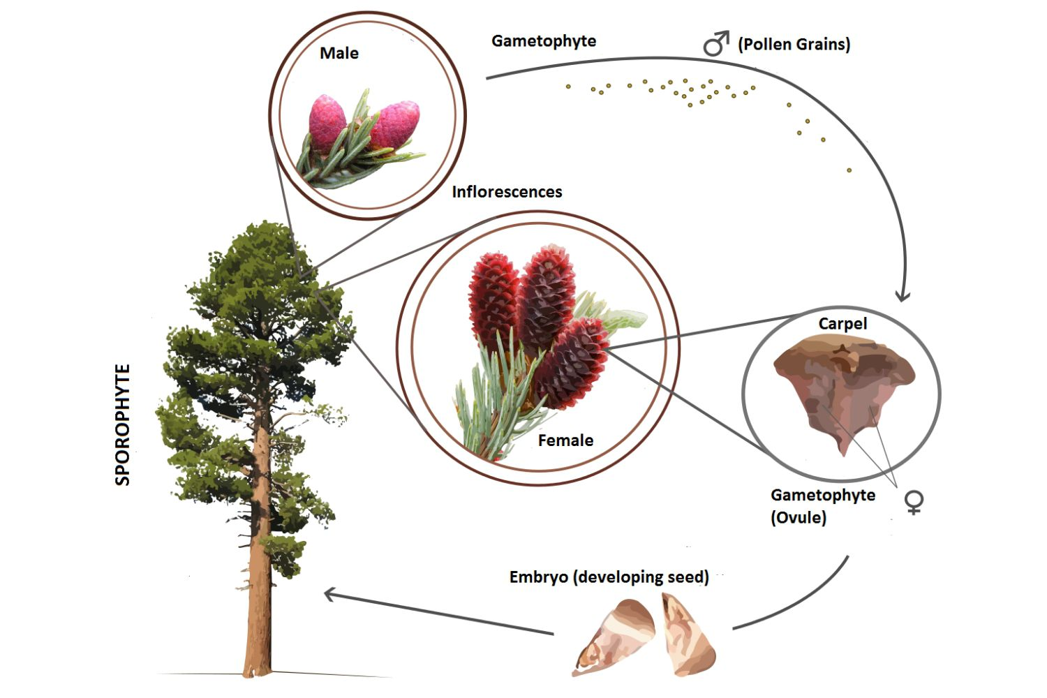 hight resolution of conifer life cycle