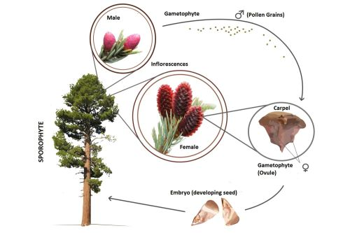 small resolution of conifer life cycle
