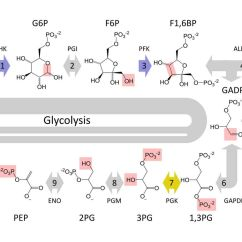 Stages Of Glycolysis And Fermentation Diagram Parrot Ck3200 Wiring 10 Steps
