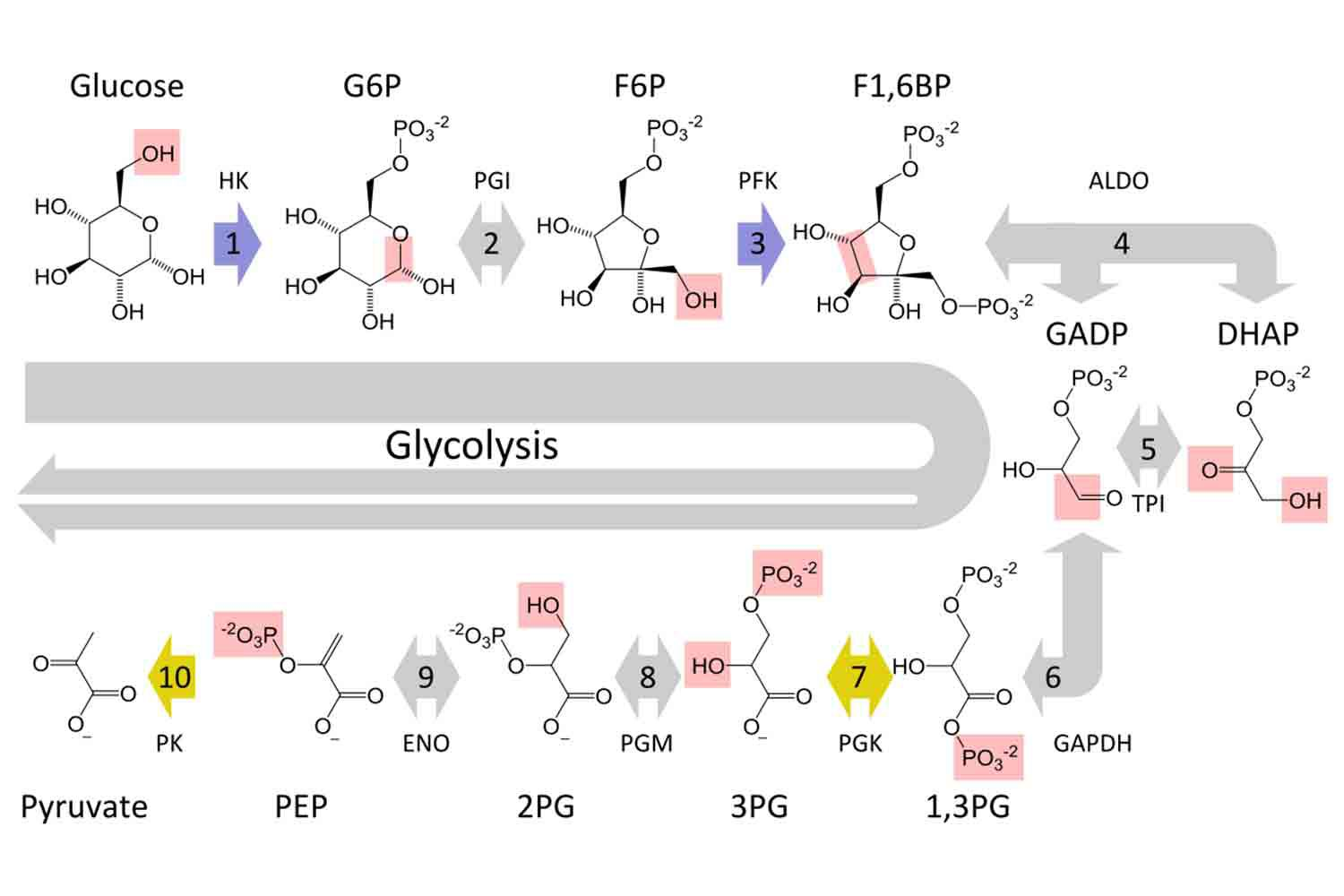 hight resolution of glycolysi diagram biology