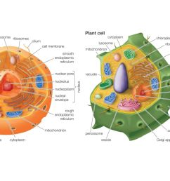 animal cell versus plant cell [ 1500 x 1000 Pixel ]