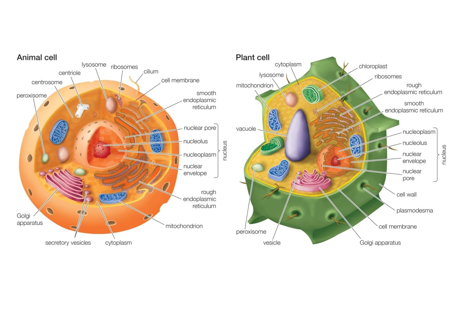 hight resolution of animal cell versus plant cell