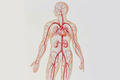 human vascular anatomy diagram salzer drum switch wiring circulatory system pulmonary and systemic circuits what is an artery