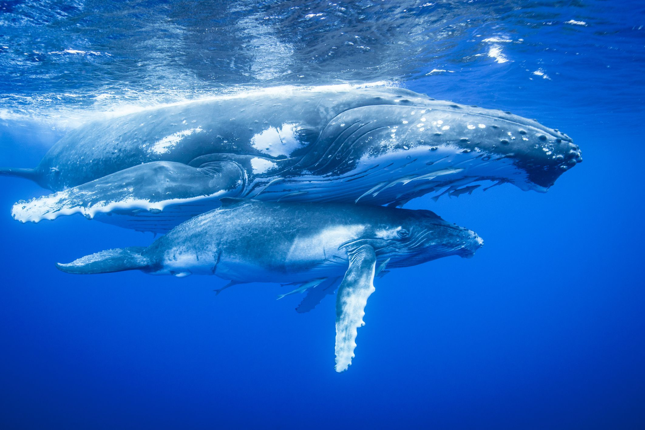 Blue Whale Wallpaper Hd Whale Species That Migrate And The Distance Traveled