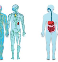 circulation diagram of organ and body [ 3072 x 976 Pixel ]