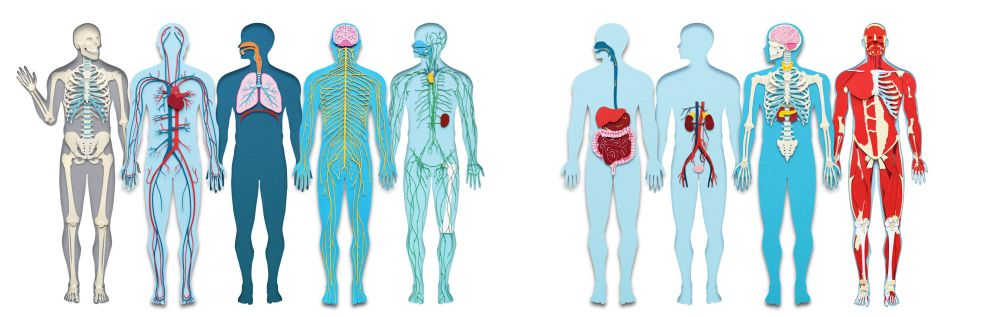 medium resolution of circulation diagram of organ and body