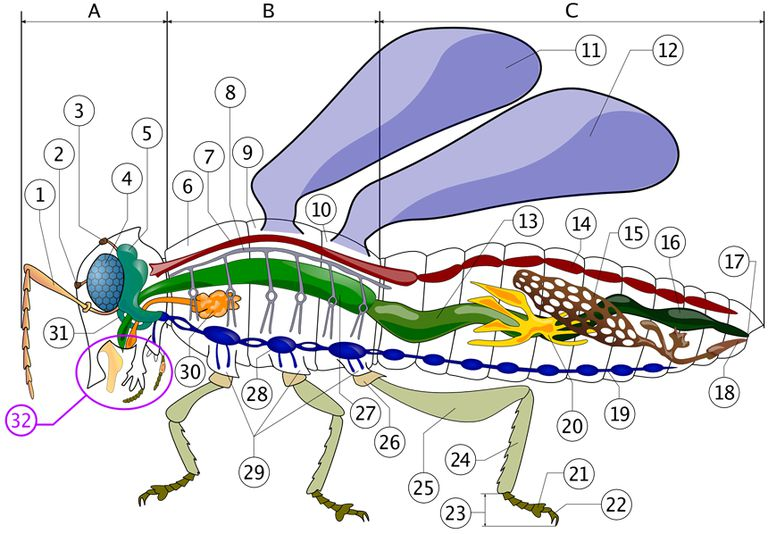 hornet anatomy diagram cummins engine color diagrams of insect organs and internal structures an