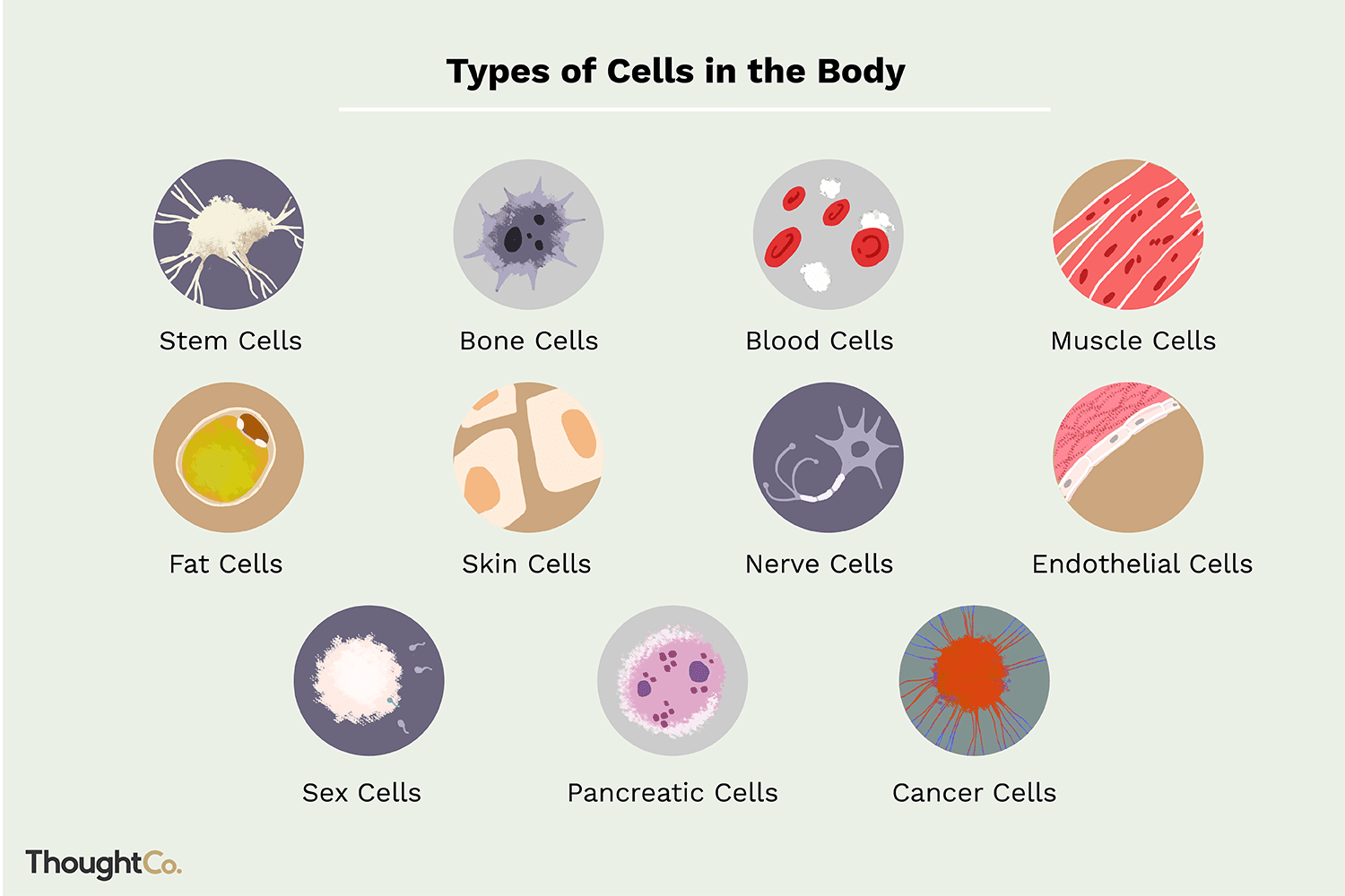 10 Different Types Of Cells In The Human Body