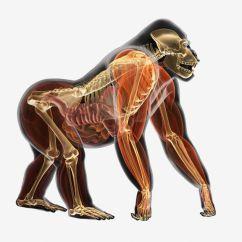 Dog Vital Organs Diagram Sony Xplod 1200 Watt Amp Wiring The 12 Animal Organ Systems And Their Functions Illustration Anatomy Of Gorilla