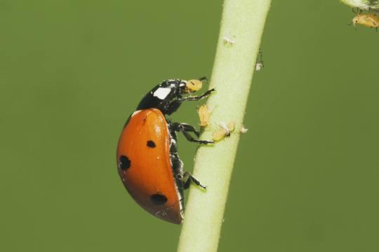 Seven-spotted Ladybug (Coccinella septempunctata) adult eating Aphids