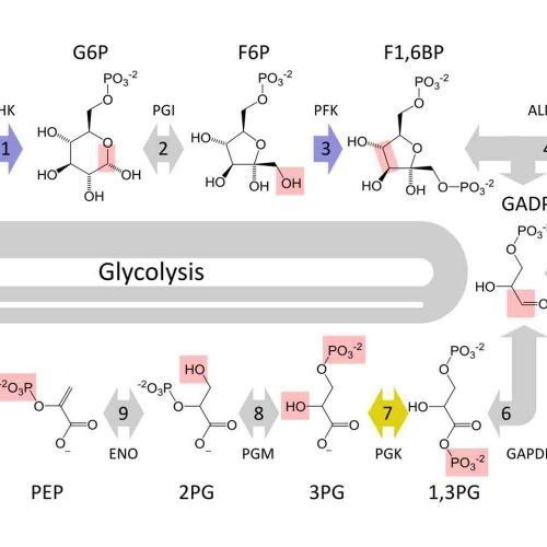 small resolution of glycolysi diagram biology