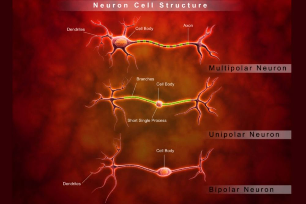 medium resolution of diagrams of neuron cell structure