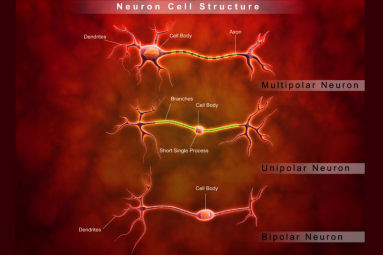 hight resolution of diagrams of neuron cell structure