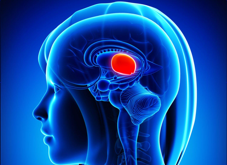 Divisions of the Brain: Forebrain Midbrain Hindbrain