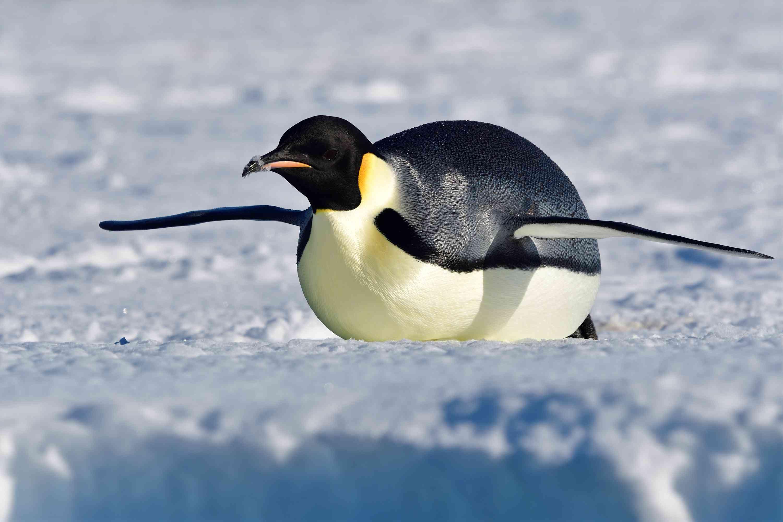 Emperor Penguin Facts Aptenodytes Forsteri
