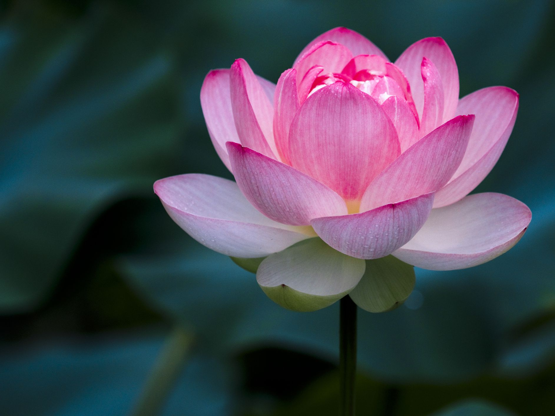 Importance Of The Lotus Flower In Chinese Culture