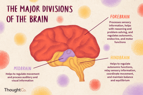 small resolution of brain diagram labeled