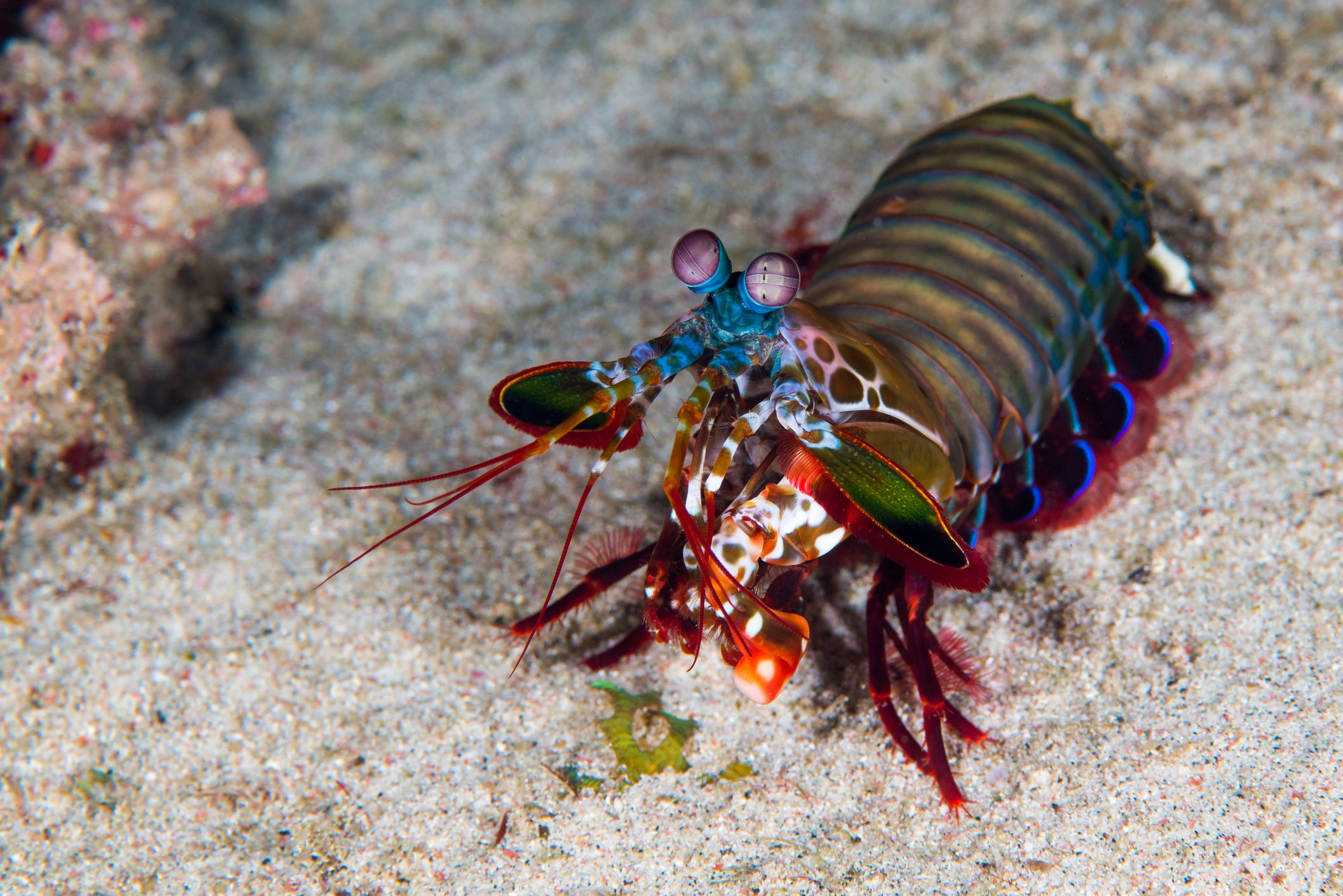 Mantis Shrimp Facts Stomatopoda