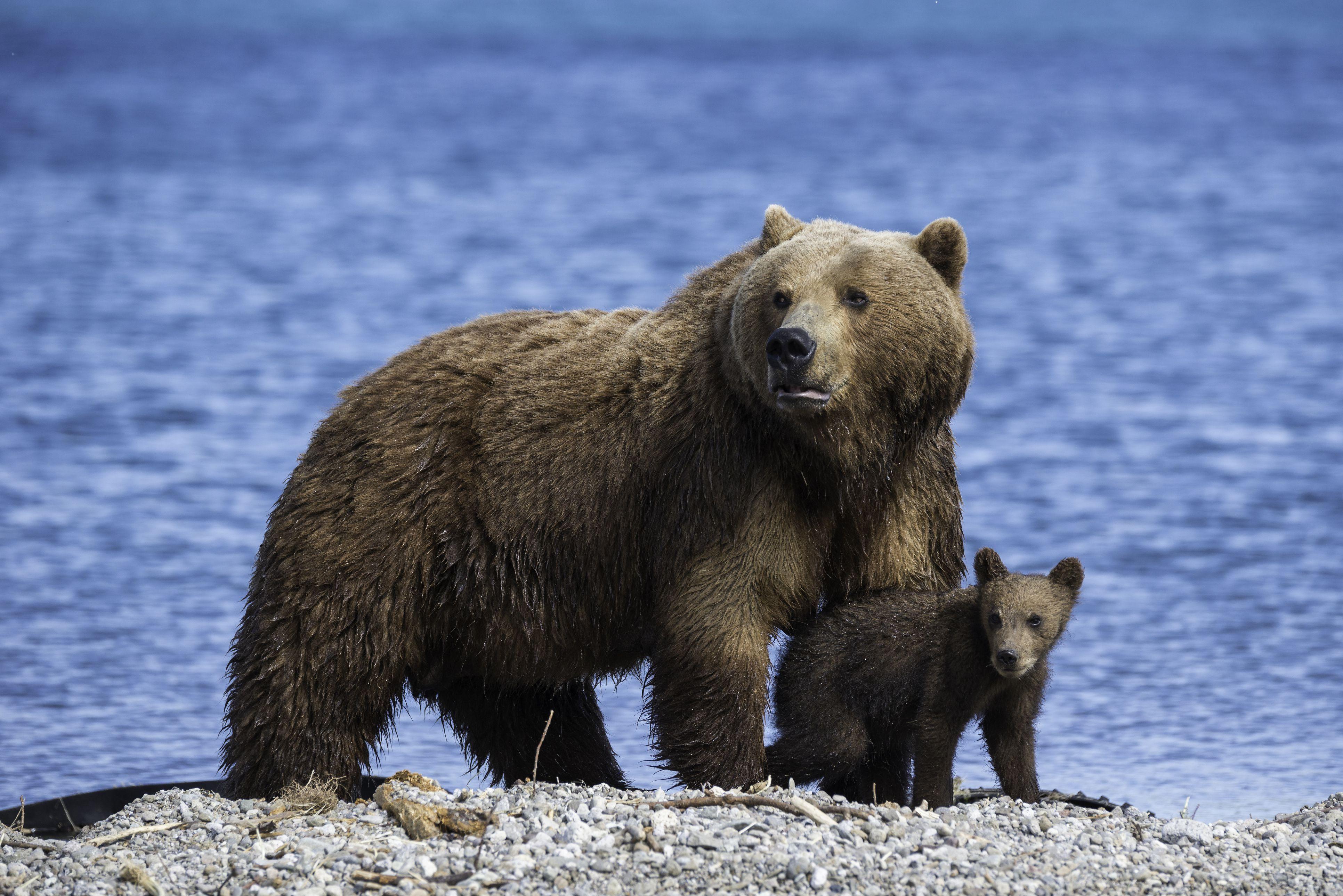 Brown Bear Facts Behaviort Habitat And More
