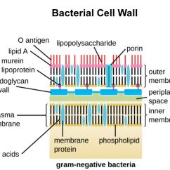Gram Positive Cell Wall Diagram Pj Dump Trailer Battery Charger Wiring Vs Negative Bacteria