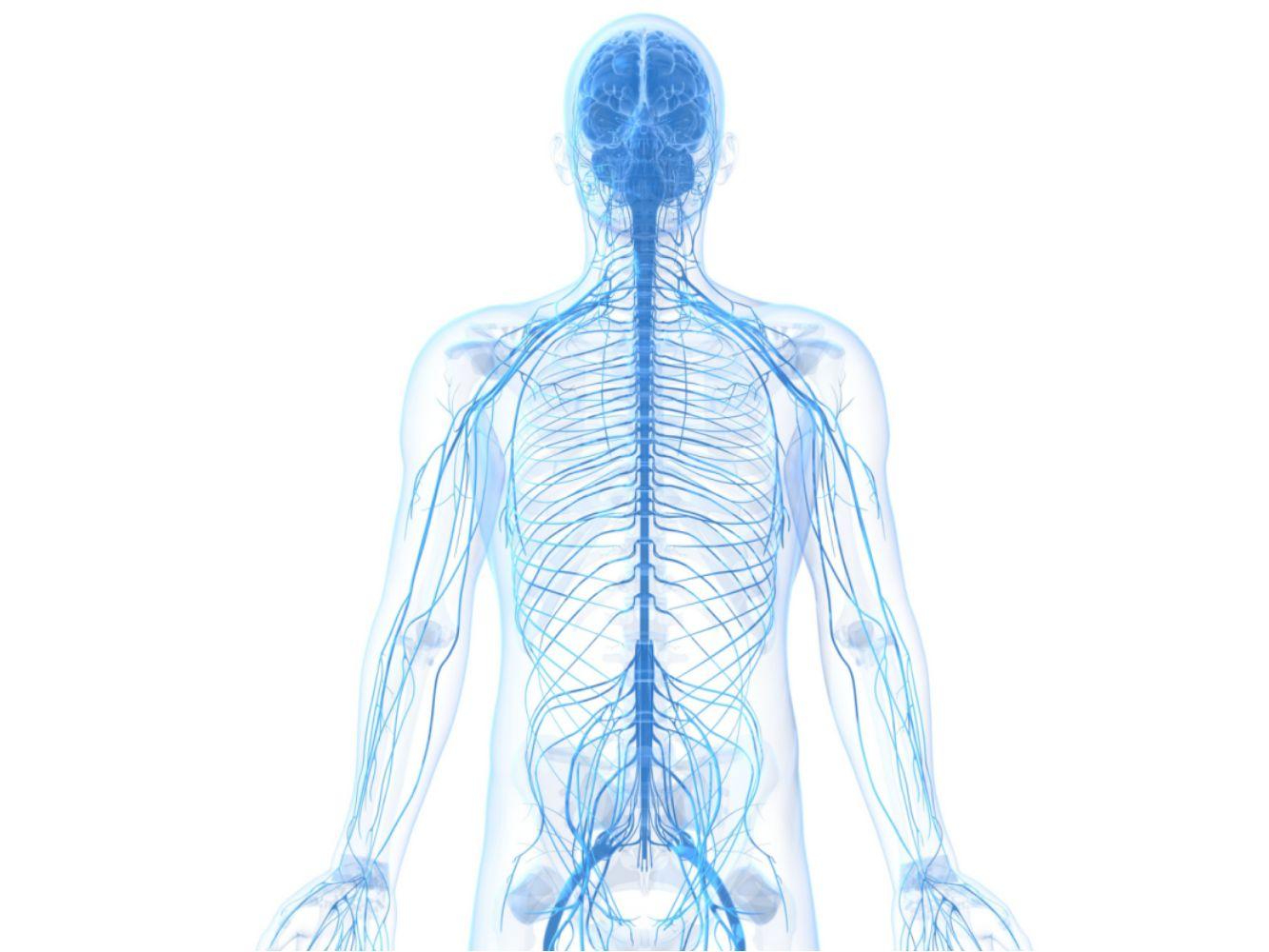 Blank Nervous System Diagram Worksheet