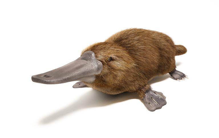 platypus facts ornithorhynchus anatinus