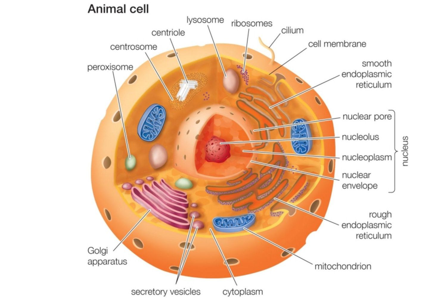 hight resolution of animal cells vs plant cells