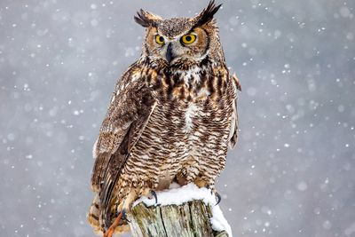 Cute Barn Tyto Owl Wallpaper Provincial Bird Emblems Of Canada
