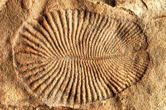 Fóssil de Dickinsonia costar, um animal primitivo que fazia parte da biota ediacarana, animais primitivos que viveram durante o período pré-cambriano.