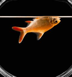 diagram of goldfish [ 2769 x 2769 Pixel ]