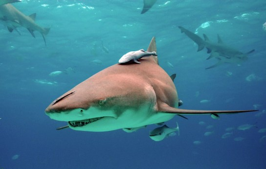 Tubarão-limão com Remora