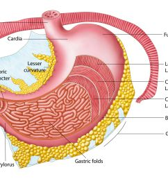 anatomy of the human stomach  [ 5494 x 3275 Pixel ]