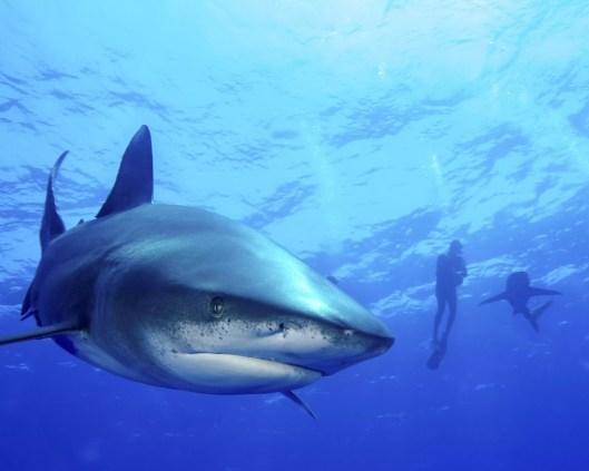 Mergulhador que nada com os tubarões de whitetip oceânicos, Cat Island, Bahamas.