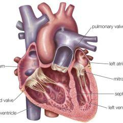 Interior Heart Diagram 2006 Pontiac G6 Alternator Wiring Atria Of The Function