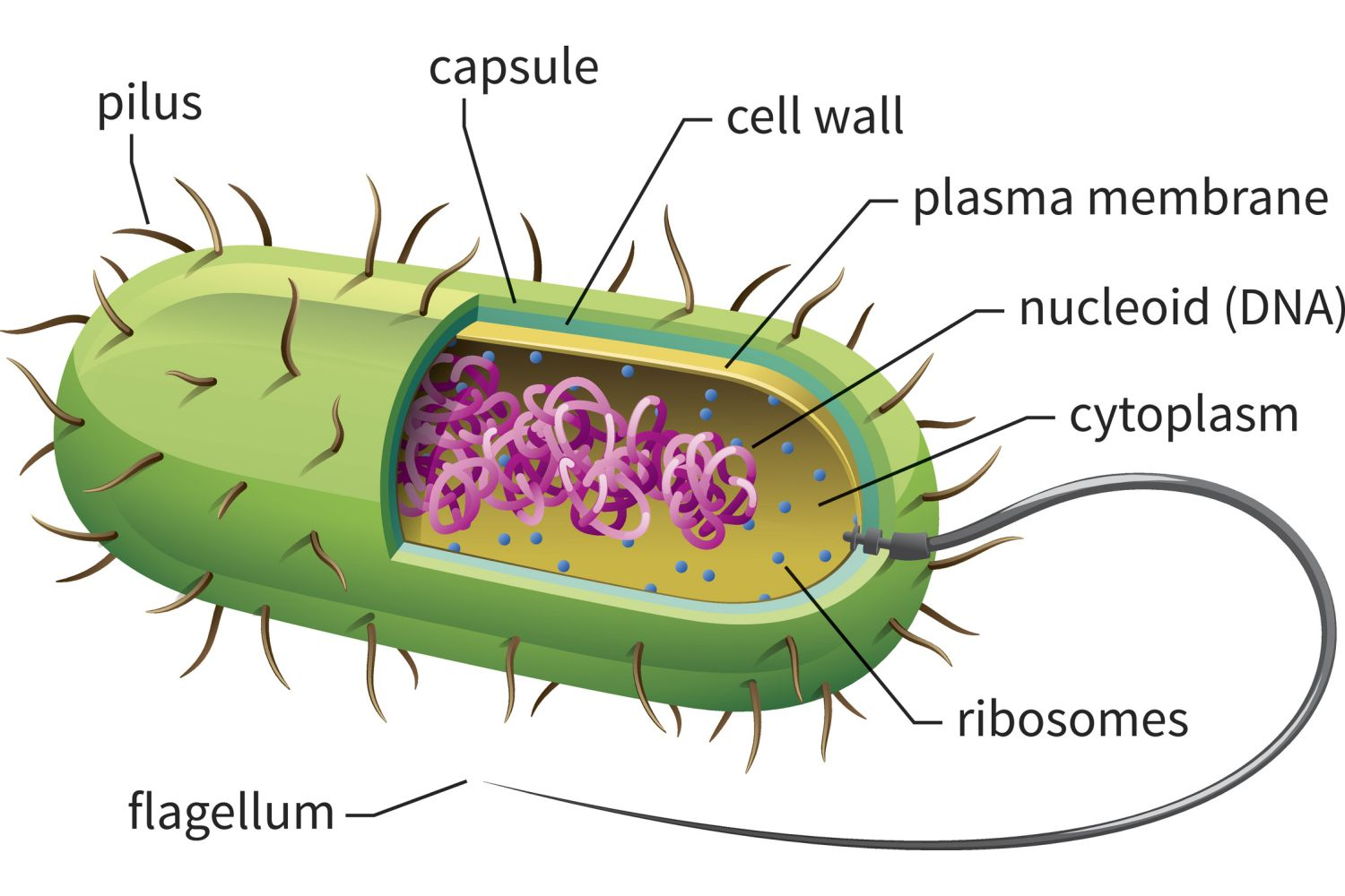 microbiology prokaryotic cell diagram labeled erd entity relationship examples cells structure function and definition bacterial