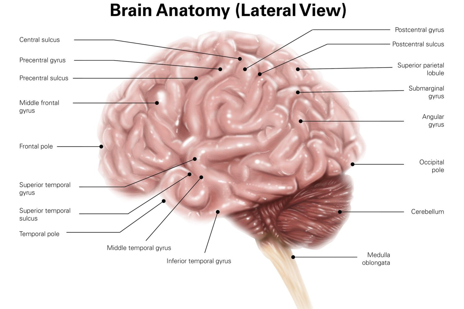 hight resolution of labeled diagram of the human brain