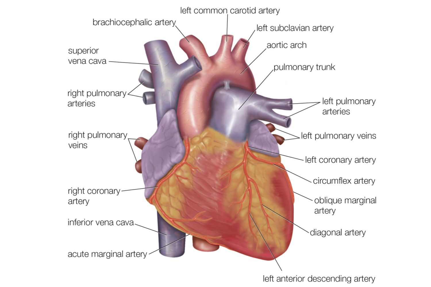 Labeling Heart Diagram