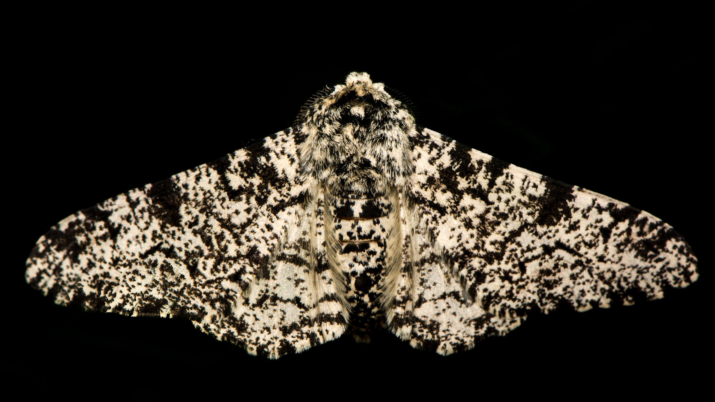 Peppered Moths A Natural Selection Case Study