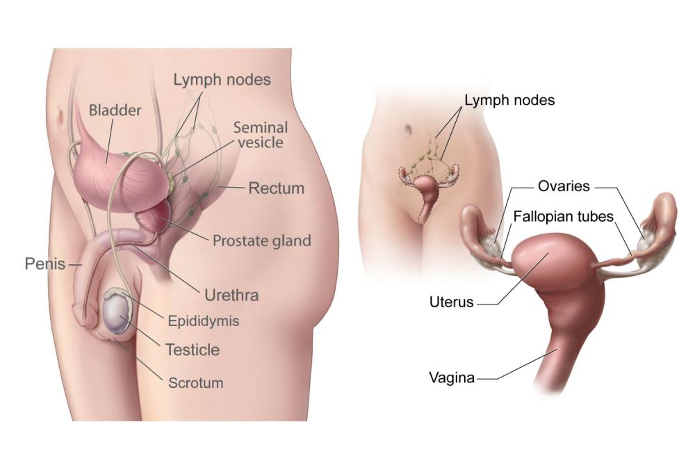 medium resolution of ovary reproductive system diagram labeled