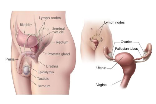 small resolution of ovary reproductive system diagram labeled
