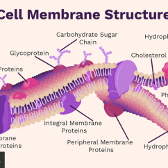 Human Cell Wall Diagram Labeled Marine Alternator Wiring Membrane Function And Structure