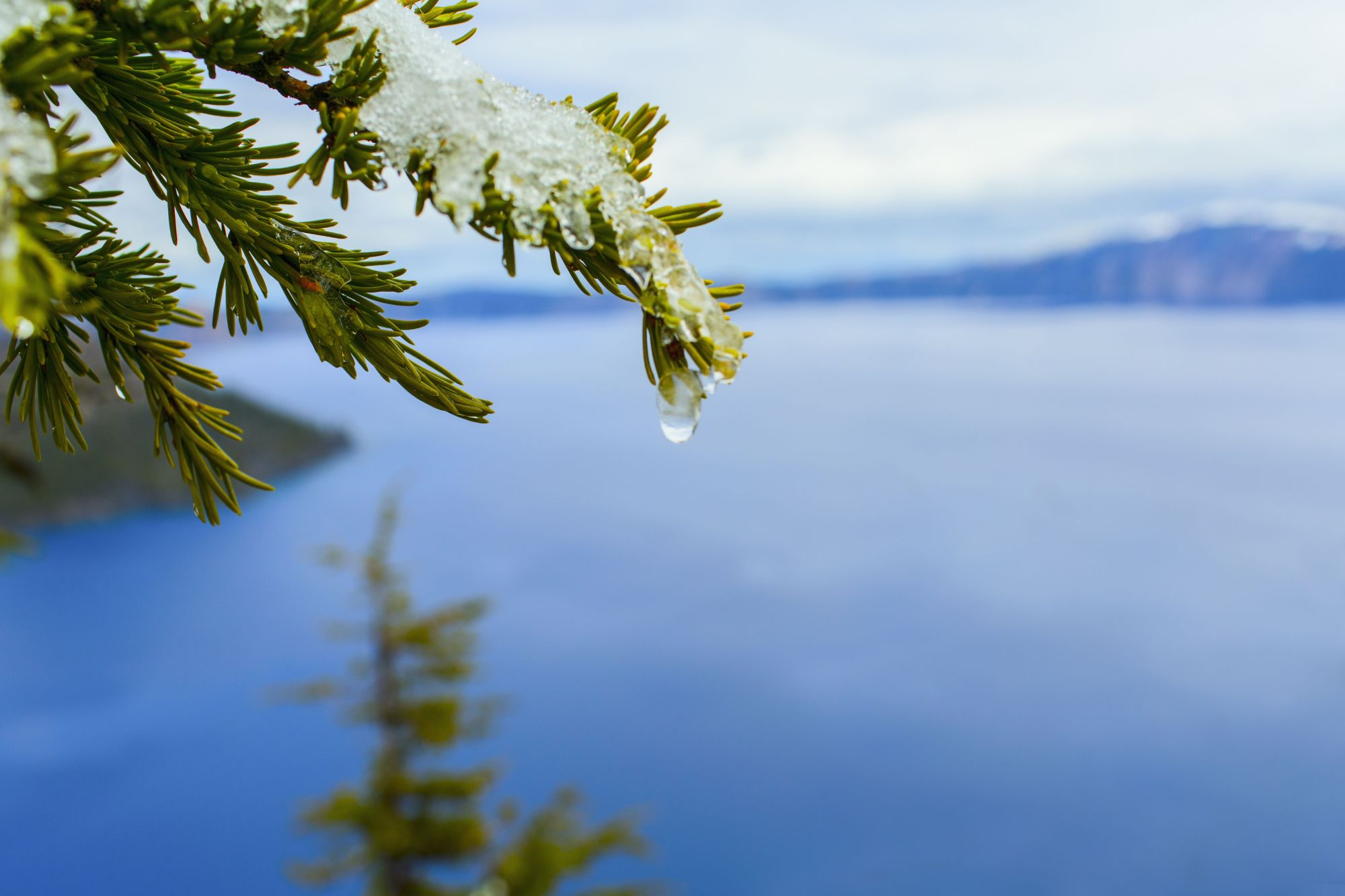 hight resolution of close up of melting snow on tree branch over crater lake oregon united states